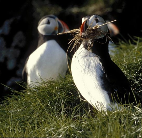 Puffin Safari, Bleik